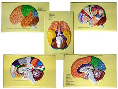 Барельефная модель Доли, извилины, цитоархитектонические поля головного мозга (5