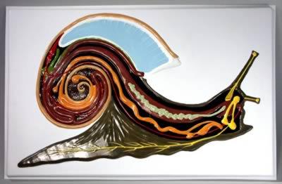 Барельефная модель Внутреннее строение брюхоногого молюска