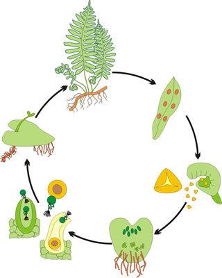 Модель-аппликация Размножение папоротника