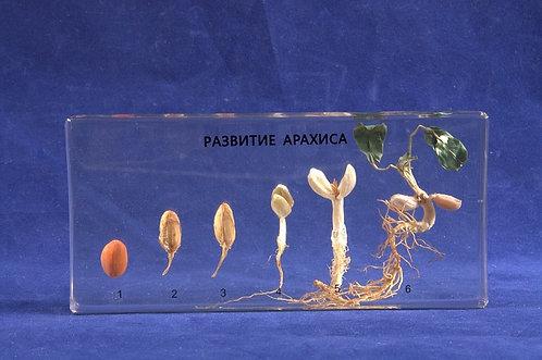 Коллекция Развитие арахиса