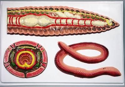 Барельефная модель Внутреннее строение дождевого червя