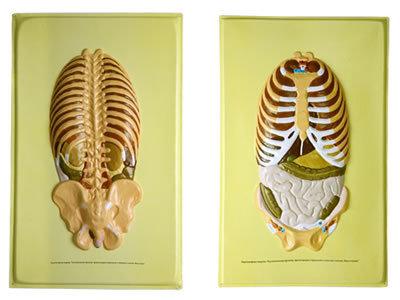 Барельефная модель Располож.органов, прилегающих к брюшной и спинной стенкам