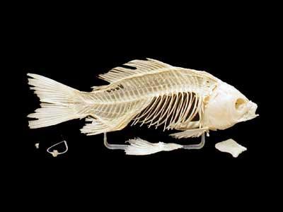 Скелет костистой рыбы