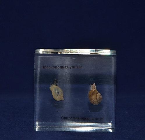 Коллекция брюхоногий Моллюск