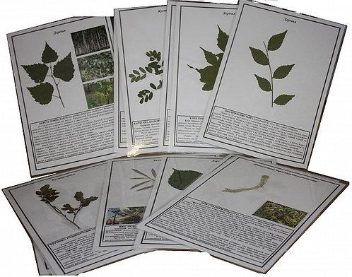 Гербарий Жизненные формы растений (ламинированный)