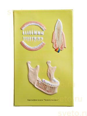 Барельефная модель Строение челюсти человека