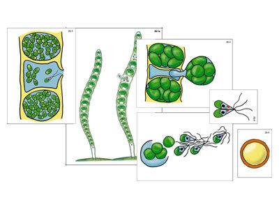 """Модель-аппликация """"Размножение многоклеточной водоросли"""" (ламинированная)"""