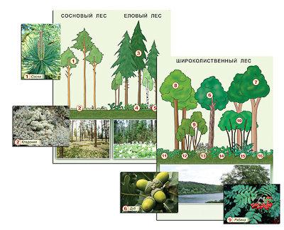 """Гербарий фотографический """"Растительные сообщества. Лес"""" (раздаточный)"""