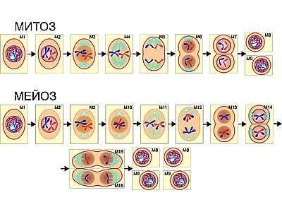 """Модель-аппликация """"Деление клетки. Митоз и мейоз"""" (ламинированная)"""