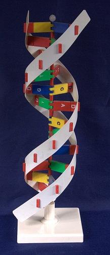 Модель Структура ДНК разборная