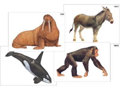 """Модель-аппликация """"Разнообразие высших хордовых 2. Млекопитающие"""""""