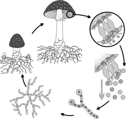 Модель-аппликация Размножение шляпочного гриба