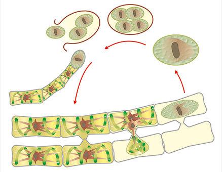 Модель-аппликация Размножение многоклеточной водоросли