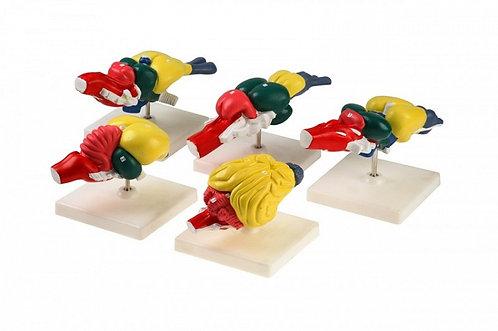 Модель Мозг позвоночных
