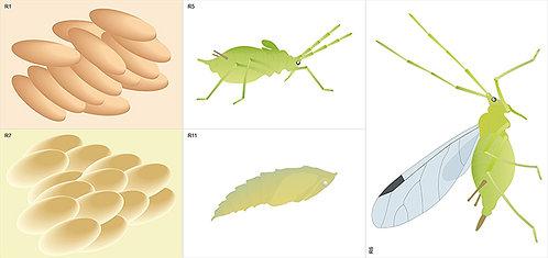 Модель-аппликация Развитие насекомых с полным и неполным превращением
