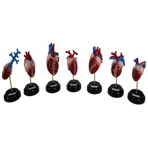Модель Строение сердца Позвоночных