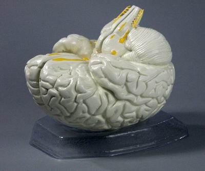 Модель Мозг в разрезе