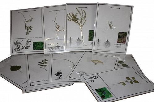 Гербарий Морфология растений (ламинированный)