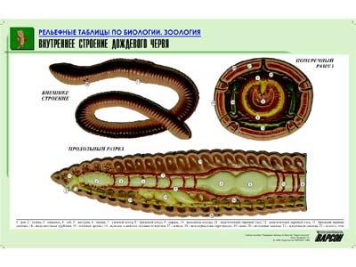 """Рельефная таблица """"Внутреннее строение дождевого червя""""(формат А1, матовое лам.)"""