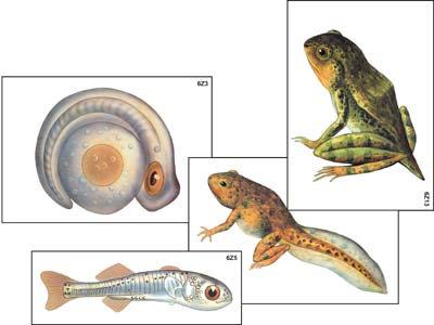"""Модель-аппликация """"Развитие костной рыбы и лягушки"""" (ламинированная)"""