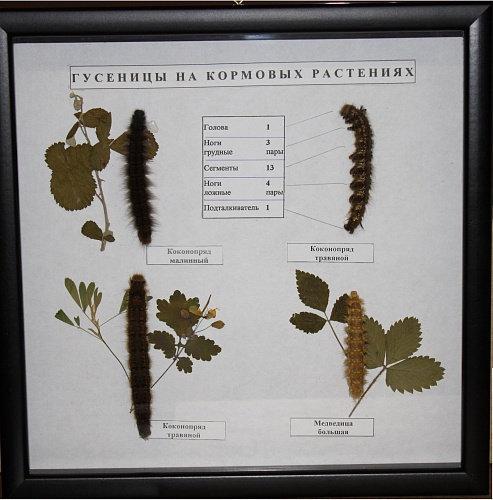 Коллекция Гусеницы на кормовых растениях