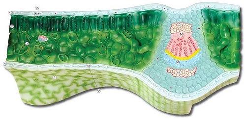 Барельефная модель Клеточное строение листа