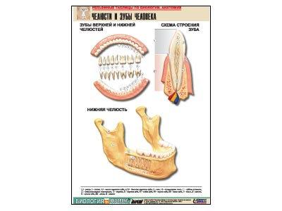 """Рельефная таблица """"Челюсти и зубы человека"""" (формат А1, матовое ламинир.)"""