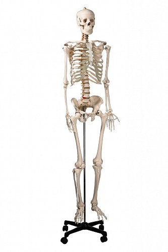 Скелет человека на роликовой подставке (170 см)
