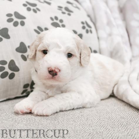 Buttercup - Female Magenta Collar