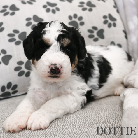 Dottie - Female Black Collar