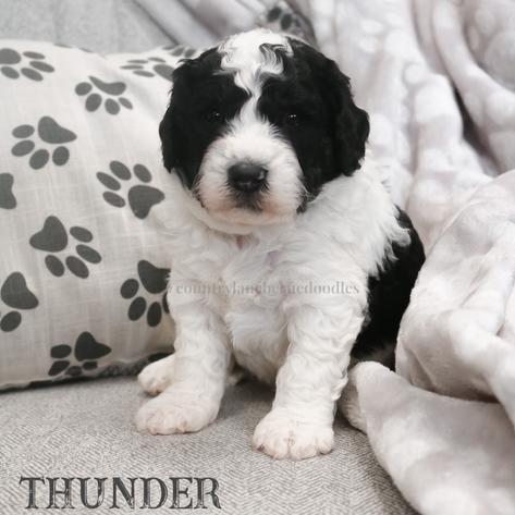 Thunder - Male Blue Collar
