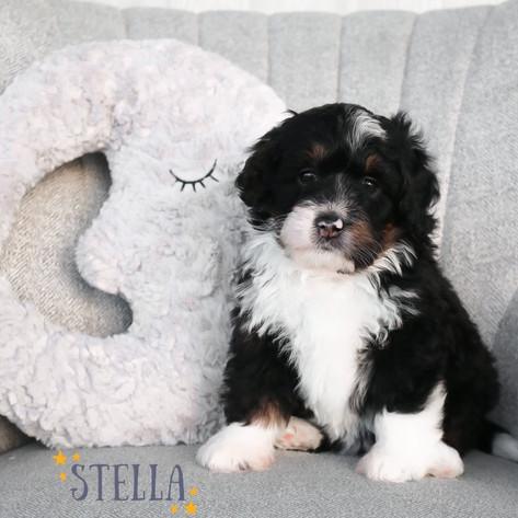 Female Purple Collar - Stella