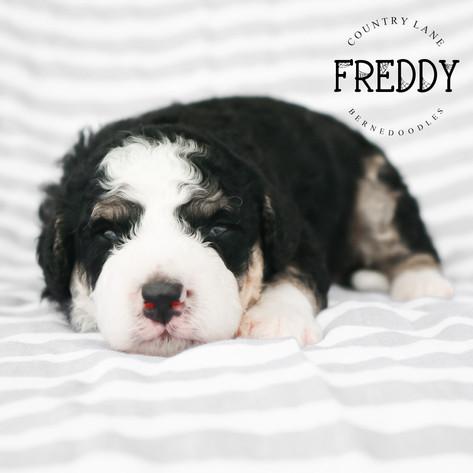 Male Orange Collar - Freddy