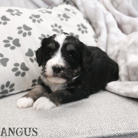 Angus - Male Red Collar