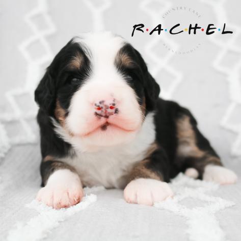Rachel - Red Collar Female