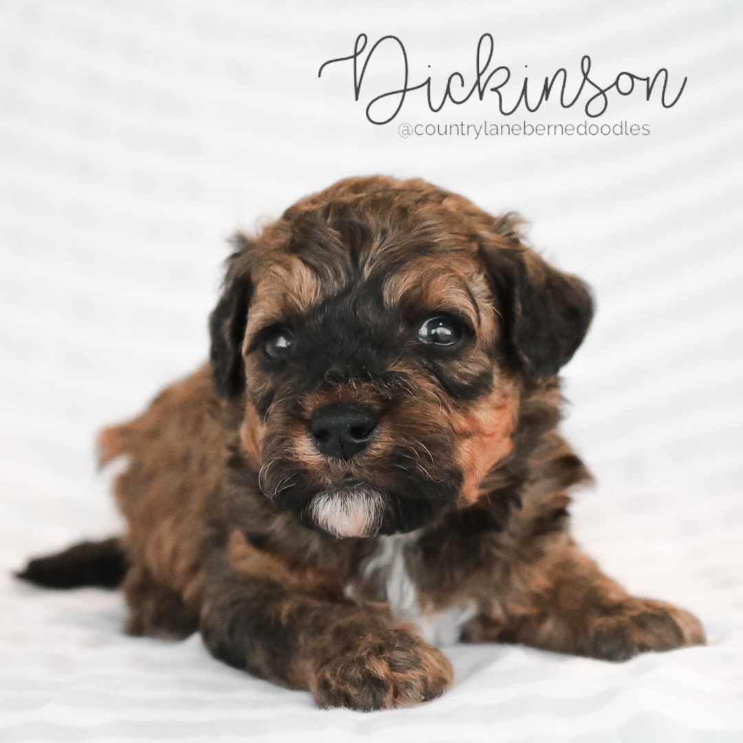 Dickinson - Male Black