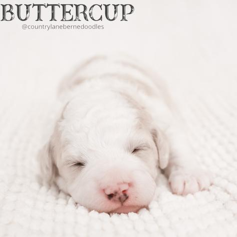 Female Magenta Collar - Buttercup