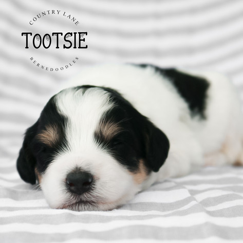 Female Violet Collar - Tootsie