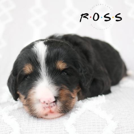 Ross - Green Collar Male
