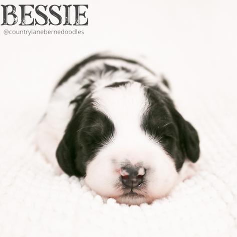 Female Orange Collar - Bessie