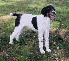 Tri Color Poodle