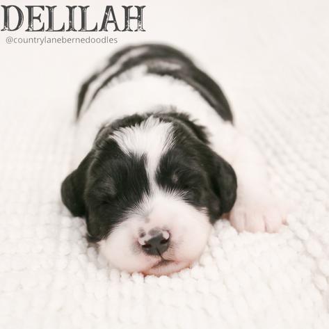 Female Yellow Collar - Delilah