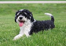 Tri Color Mini Poodle