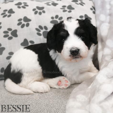 Bessie - Female Orange Collar