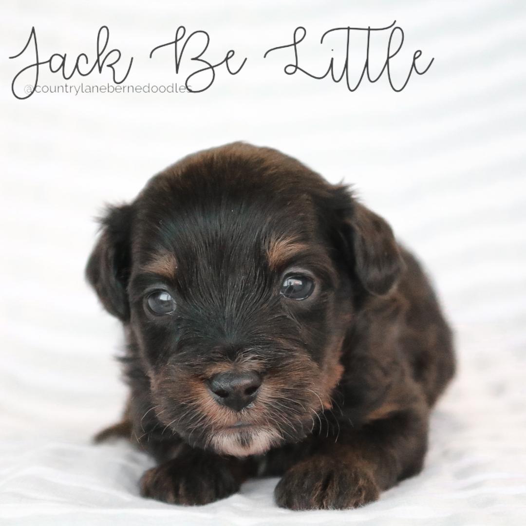 Jack Be Little - Male Blue