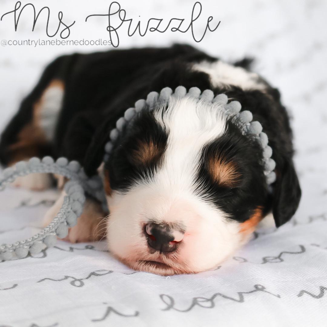 Ms Frizzle Female Grey
