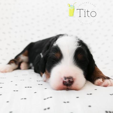 Male Yellow Collar - Tito