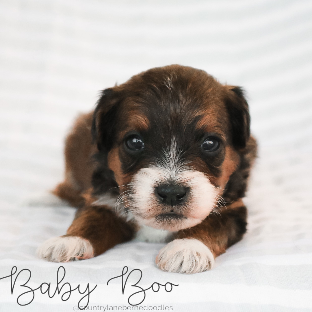 Baby Boo - Female Orange