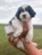 Chocolate Tri Color Mini Poodle