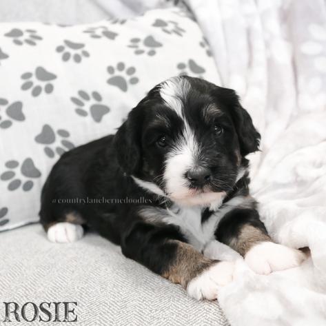 Rosie - Female Purple Collar